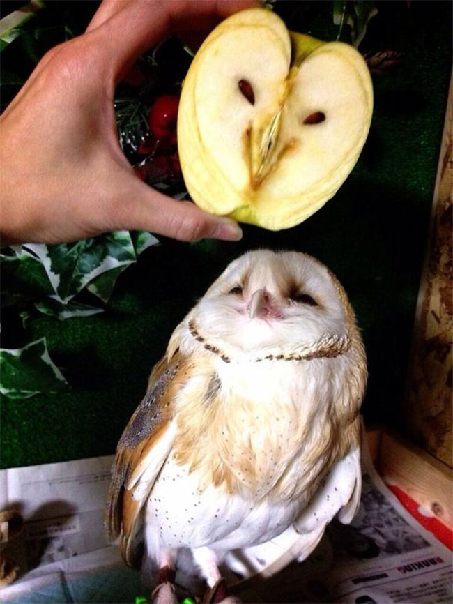12. Owl with Apple owl.