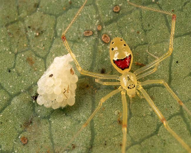 16. Theridion Grallator, Also Known As The Happy Face Spider