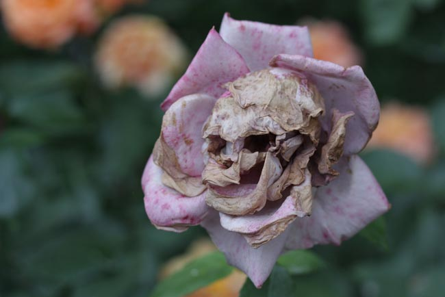 5. A Rose That Decayed Into A Skull