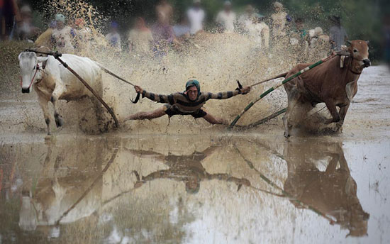 Joki Racing Cow